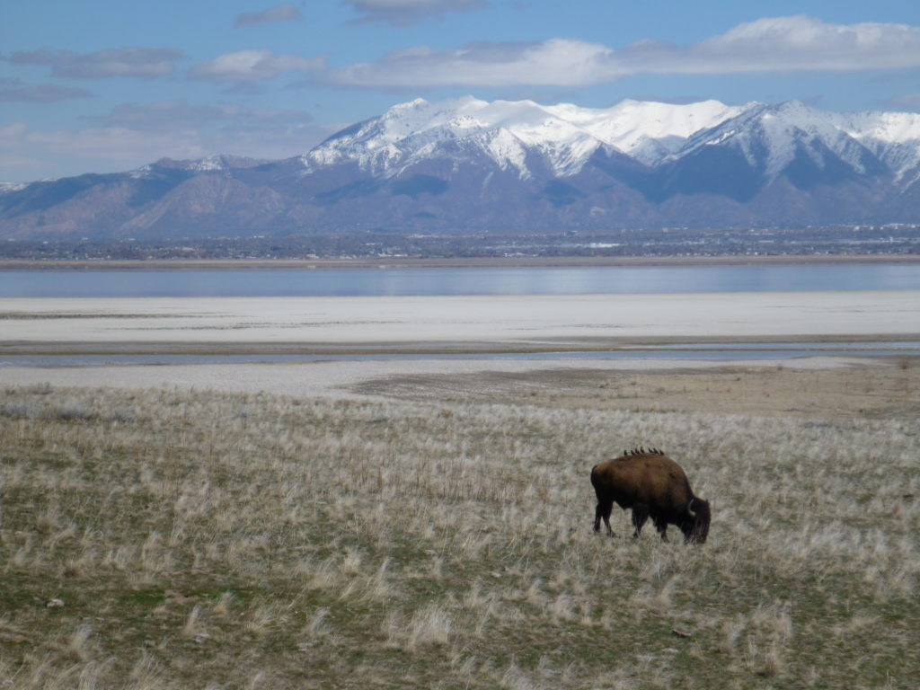 The Great Salt Lake and bison on Antelope Island